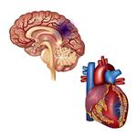 動脈硬化性疾患(冠動脈疾患、脳血管障害、末梢動脈疾患)